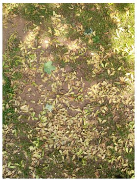 Sycamore_seeds_ground